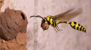 Potter wasp - Credit: Natasha Mhatre